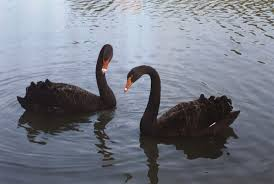 Link to Black Swan Farms